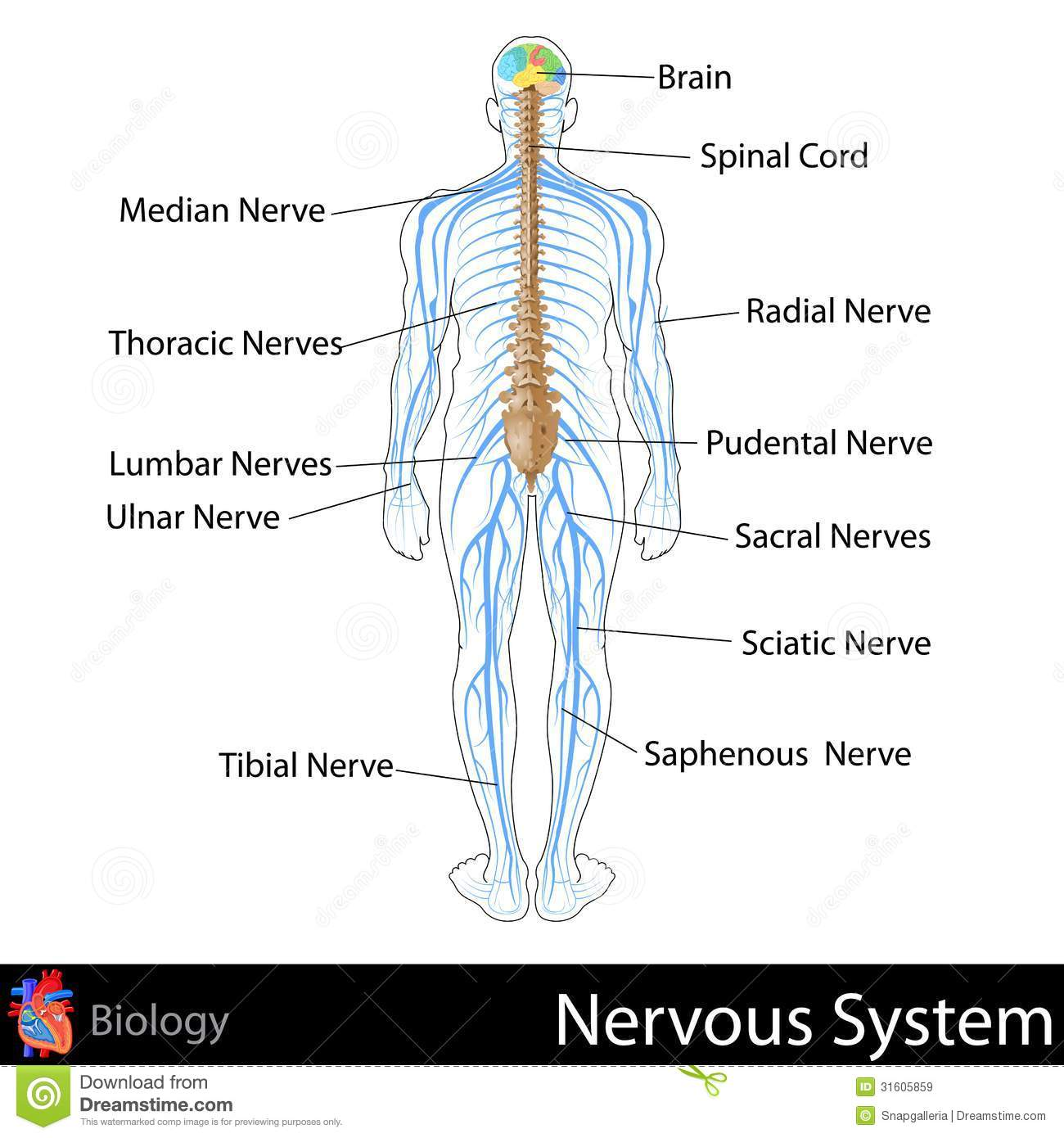 Nervous System Stock Illustration Illustration Of Graphic