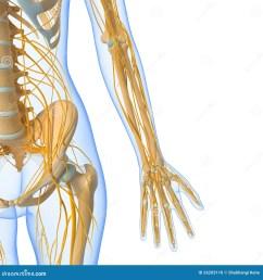nervous system of female body stock illustration illustration of groin nerve diagram female nerve diagram human body [ 1300 x 1390 Pixel ]