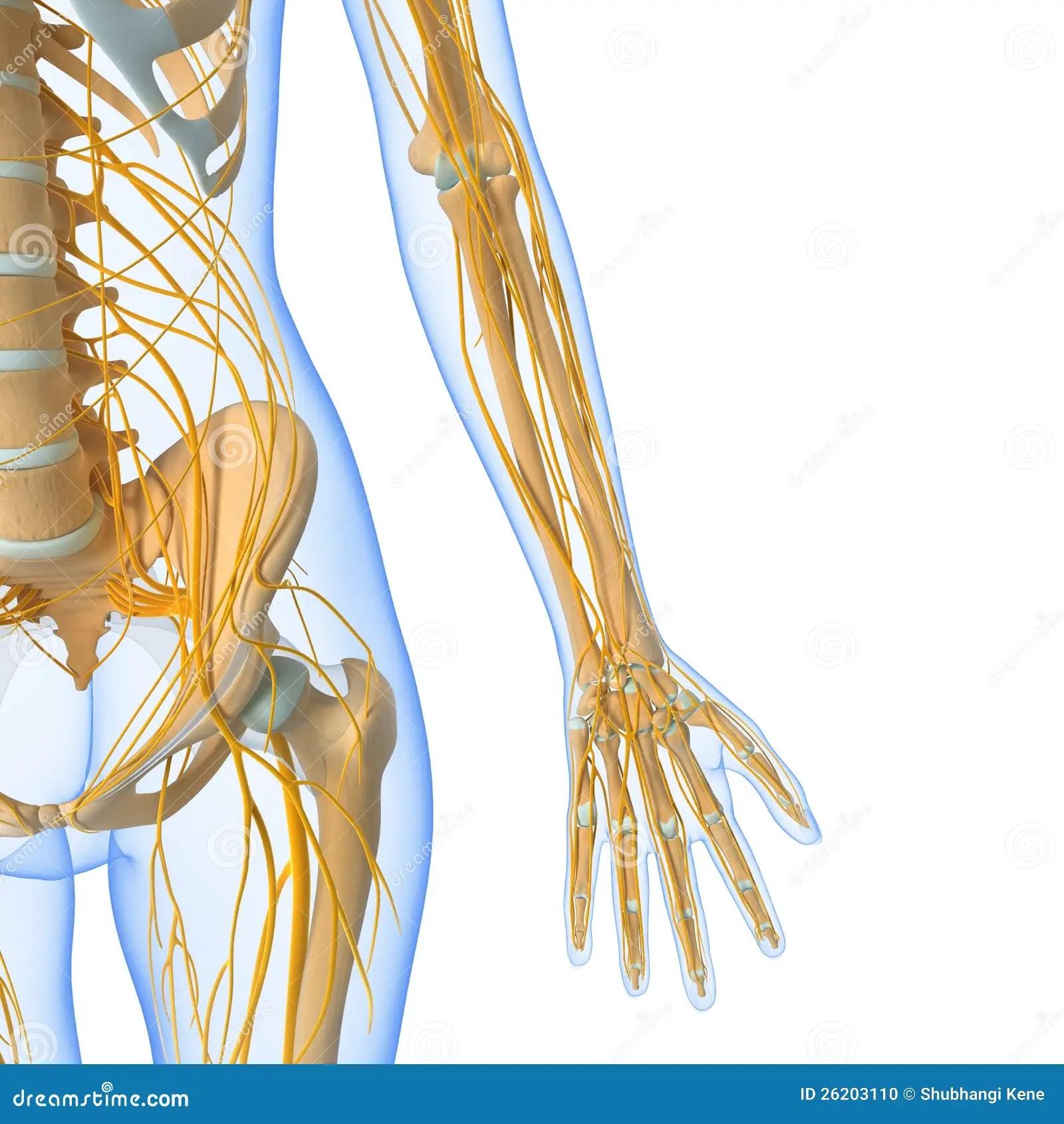 hight resolution of nervous system of female body stock illustration illustration of groin nerve diagram female nerve diagram human body