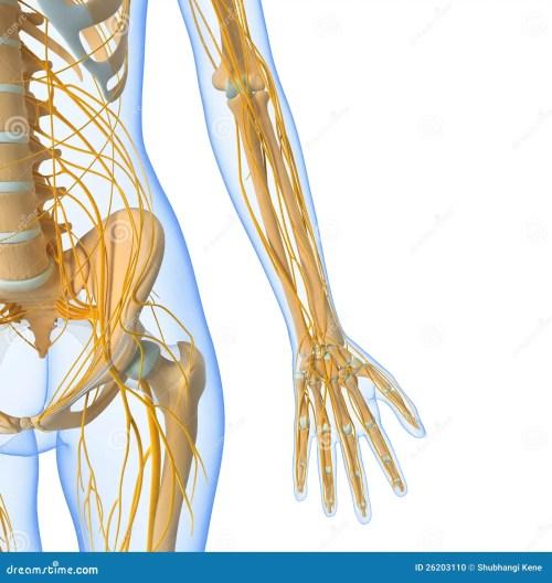small resolution of nervous system of female body stock illustration illustration of groin nerve diagram female nerve diagram human body