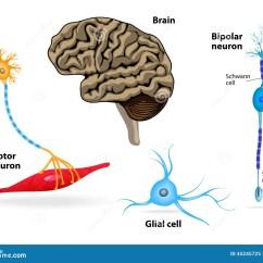 Human Brain Cell Diagram Polaris Ranger Kayak Rack Nervous System Anatomy Stock Vector Image 45245725