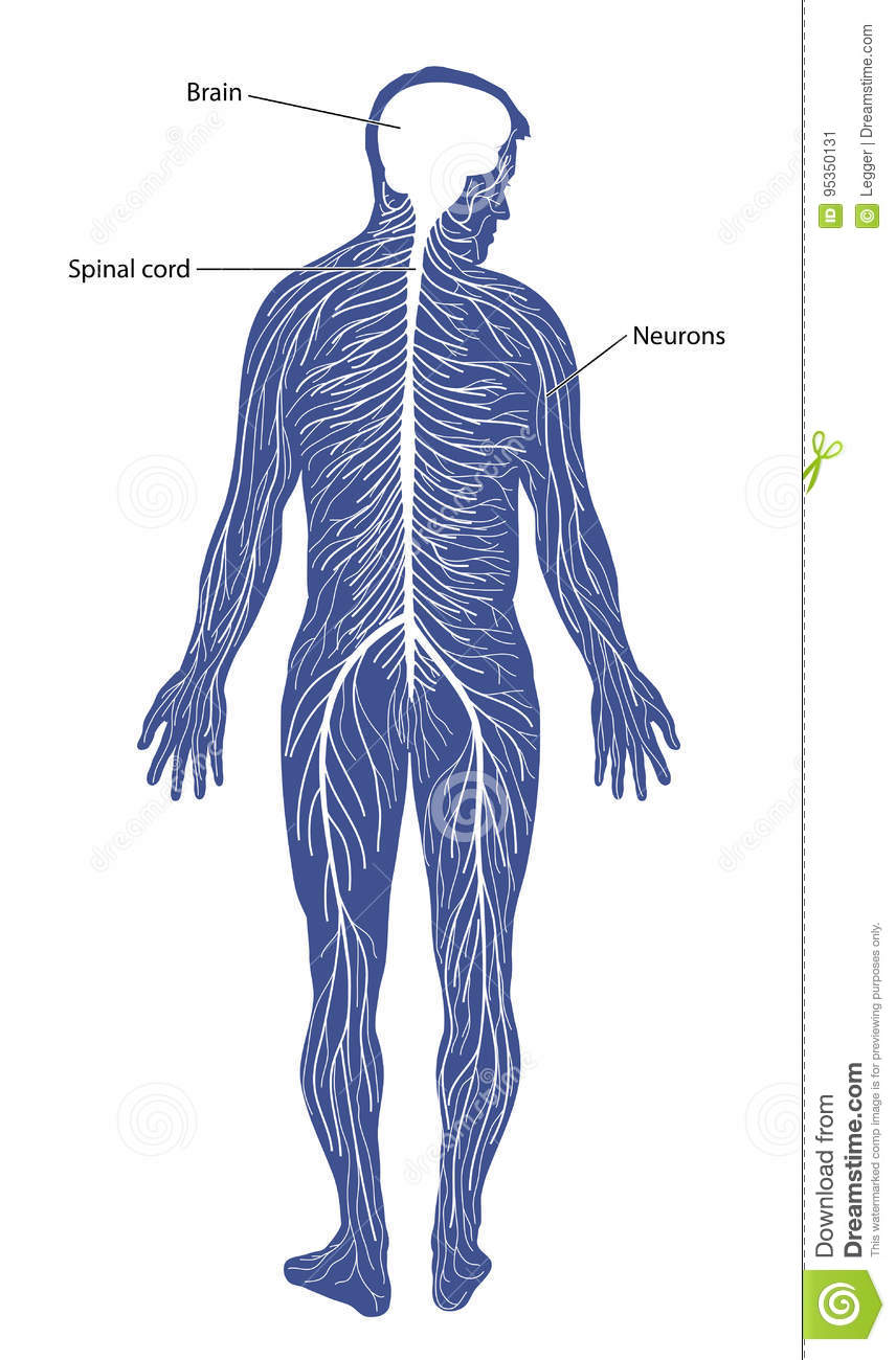 hight resolution of schematic diagram of the nervous system comprising of the brain spinal cord and peripheral nerves