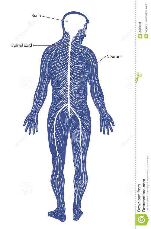 small resolution of schematic diagram of the nervous system comprising of the brain spinal cord and peripheral nerves