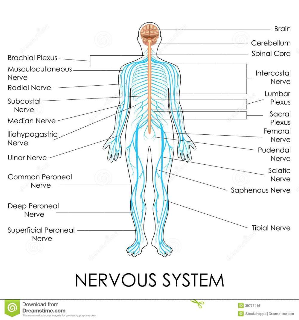 medium resolution of vector illustration of diagram of nervous system