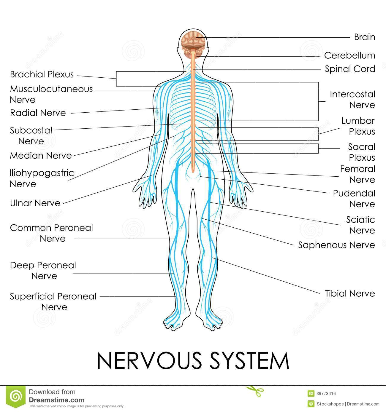 hight resolution of vector illustration of diagram of nervous system