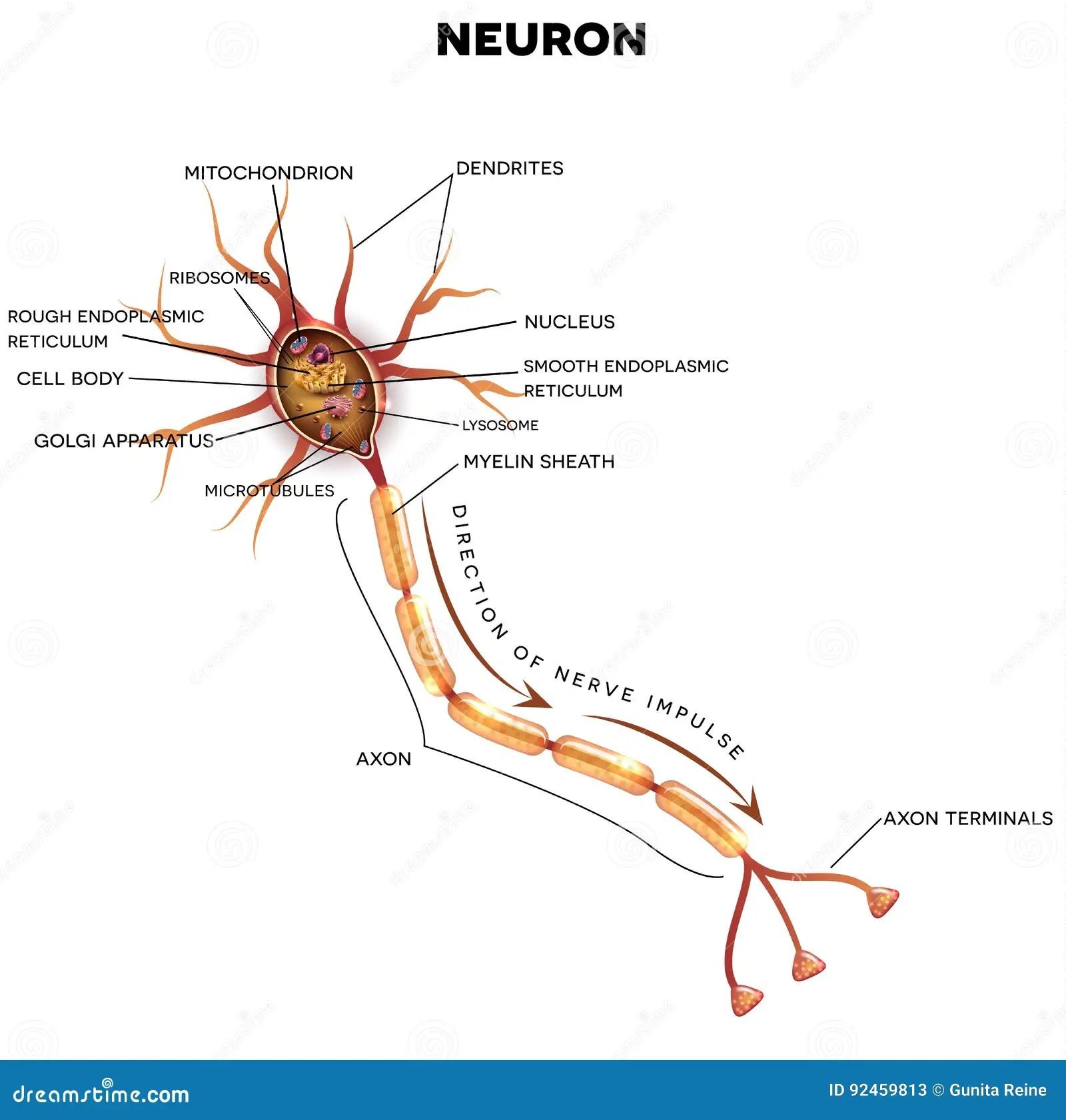 Neuron Nerve Cell Anatomy Stock Vector Illustration Of