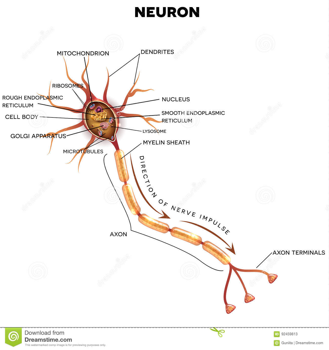 hight resolution of neuron nerve cell that is the main part of the nervous system cross section detailed anatomy nucleus and other organelles of the cell
