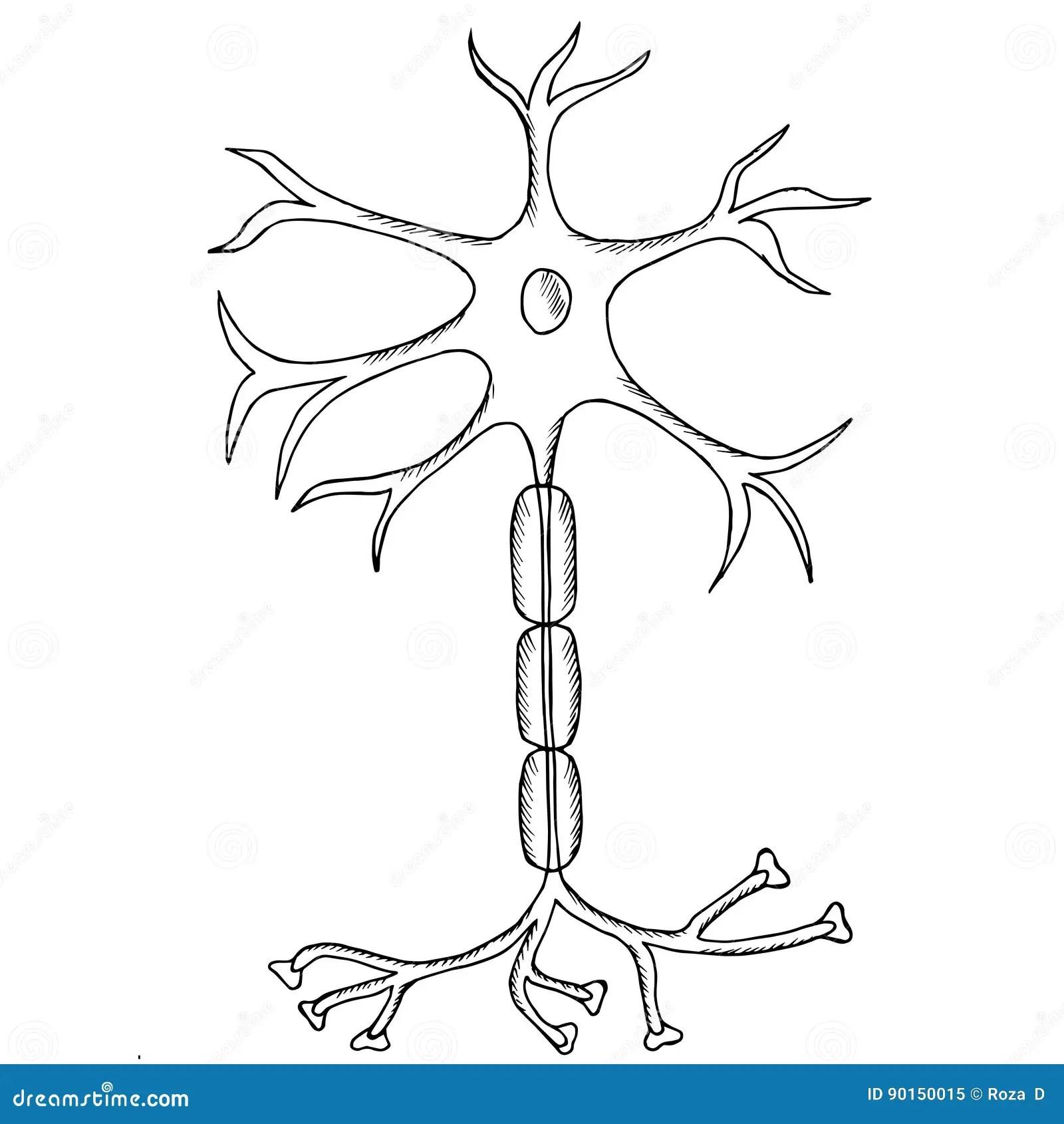 Neuron Sketch Stock Vector Illustration Of Nervous Axon
