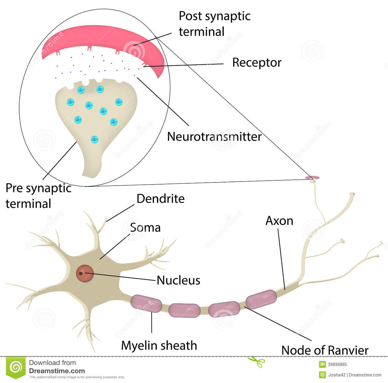 Neuron And Synapse Labeled Diagram Stock Vector