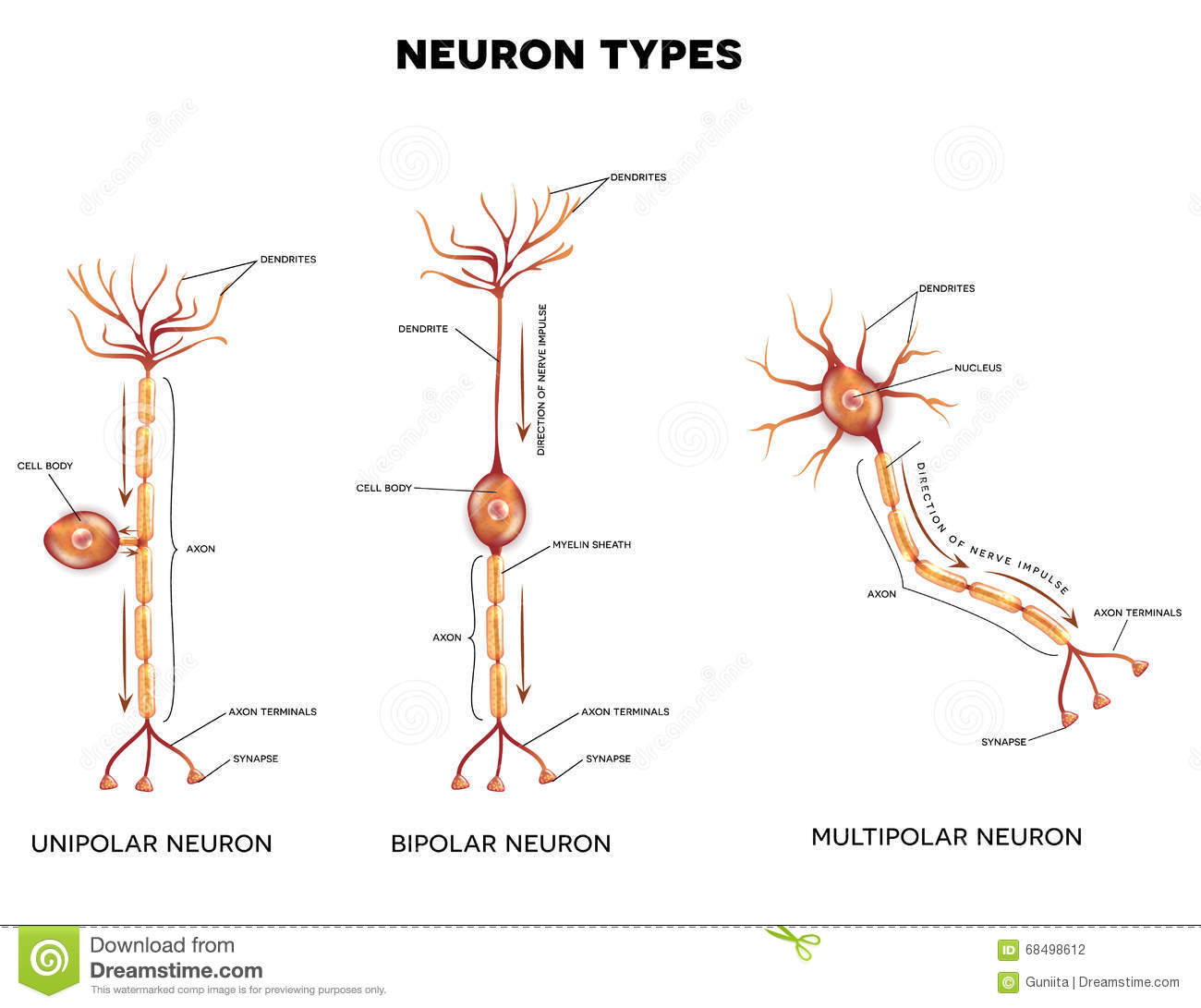multipolar neuron diagram labeled yamaha yfz 450 wiring types of neurons cartoon vector cartoondealer 52092345