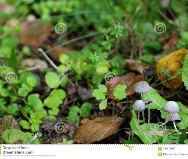 Nice Mushroom Family In Forest Among Grass