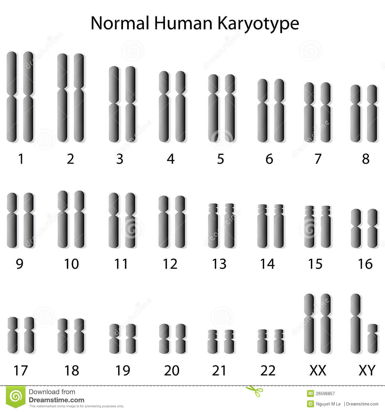 Normal Human Karyotype Stock Vector Illustration Of