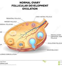 normal ovary follicular development and ovulation ovum is released from the ovarian follicles  [ 1300 x 1042 Pixel ]