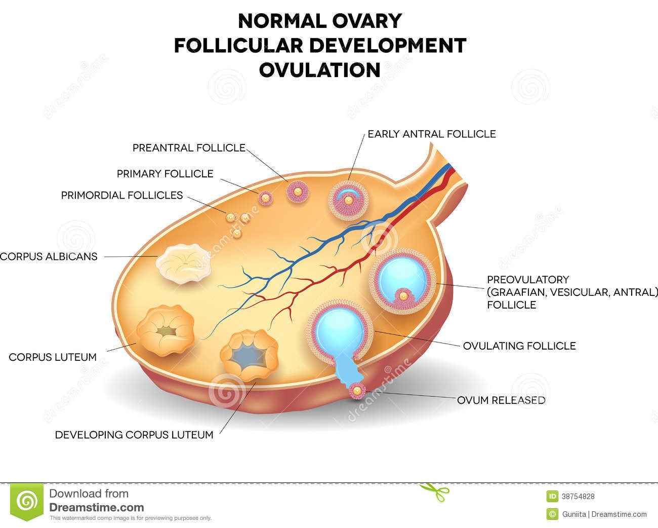 hight resolution of normal ovary follicular development and ovulation ovum is released from the ovarian follicles