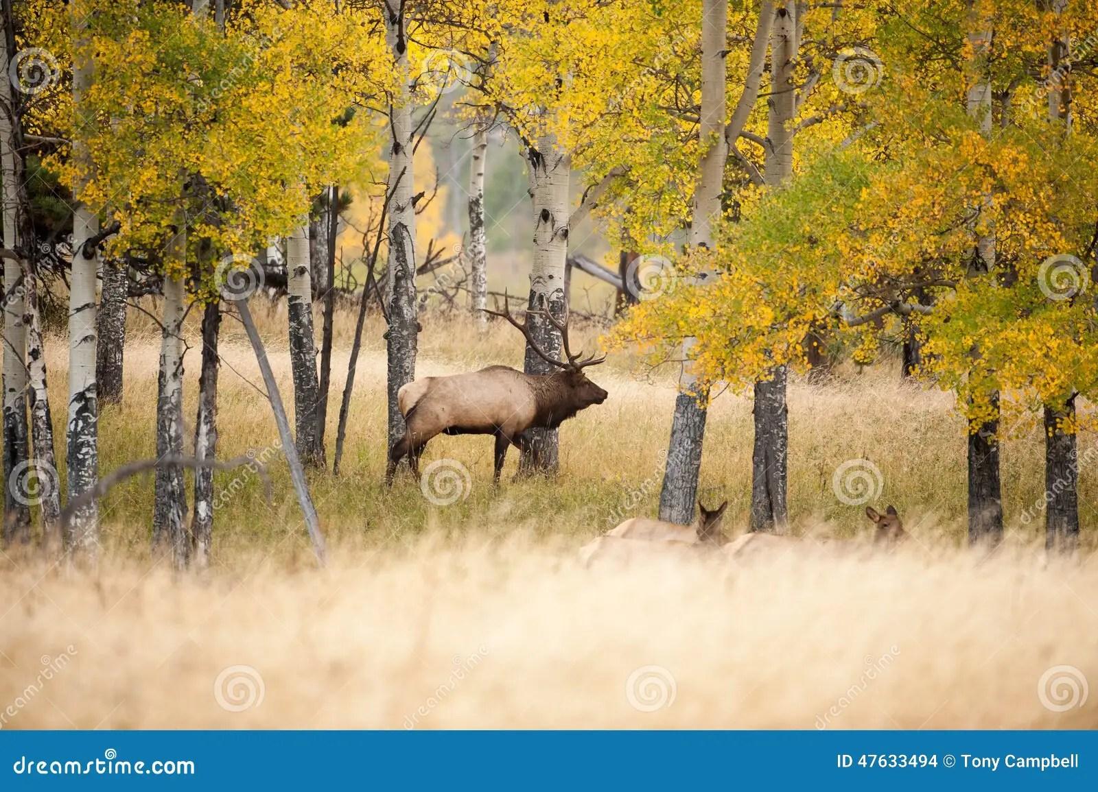 Fall Hunting Wallpaper North American Elk Stock Photo Image Of Mammal Woods