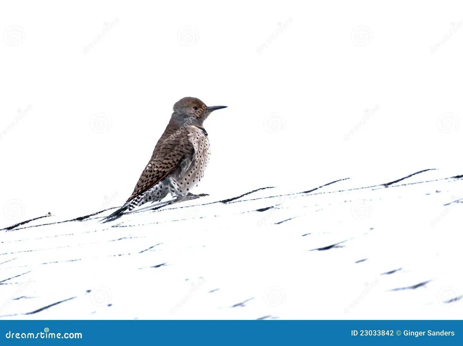 Northern Flicker Red Shafted Woodpecker Bird Femal Stock