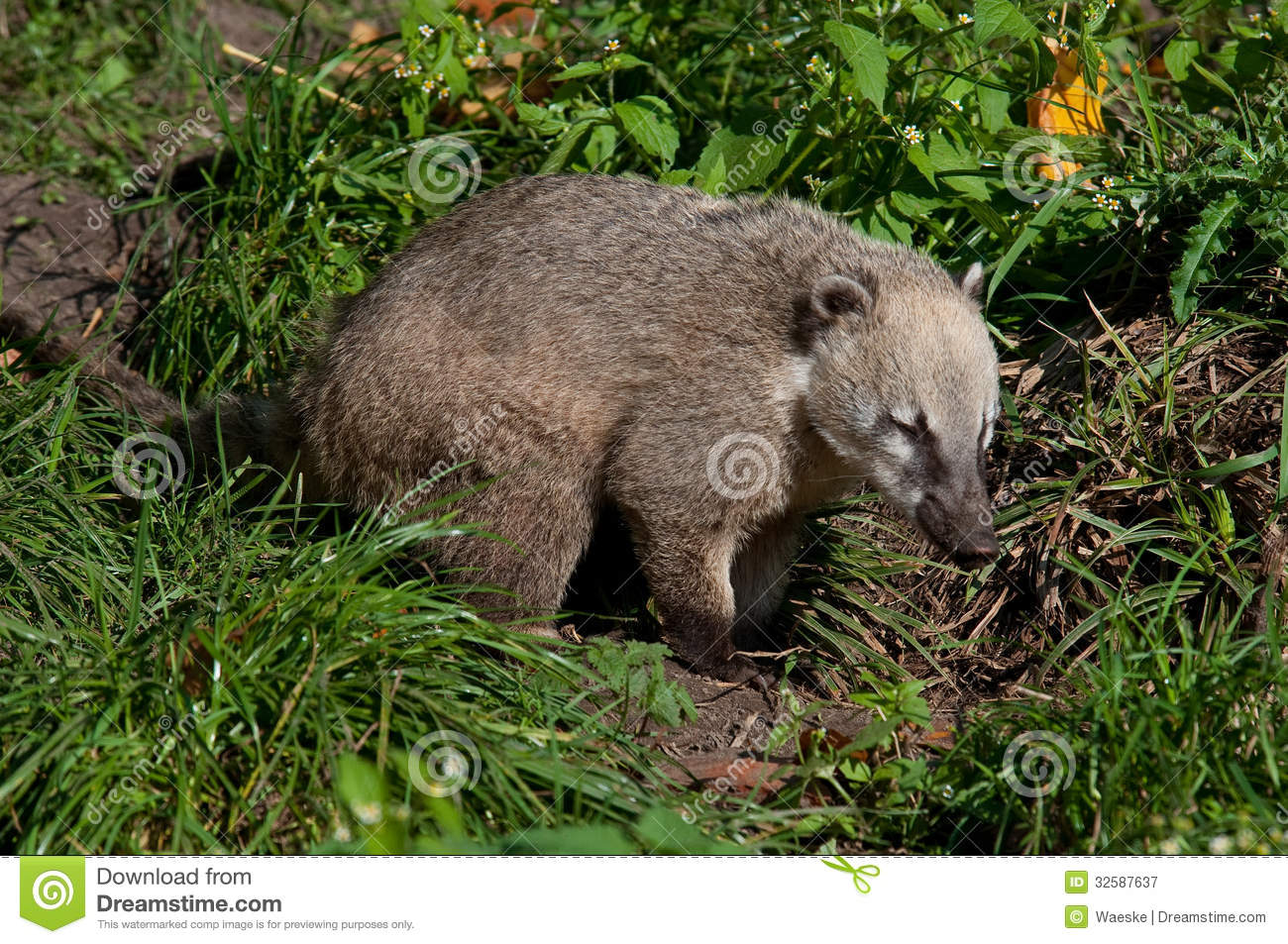 Nose bear stock image Image of animals bears snout  32587637