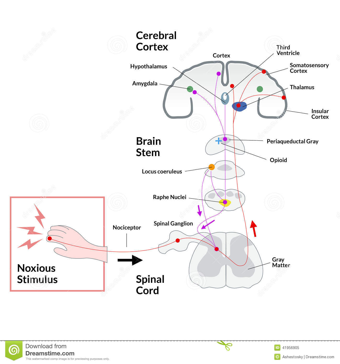 hight resolution of illustrated diagram of stimulus transmission from skin to the brain and response including brain stem passages and brain elaboration