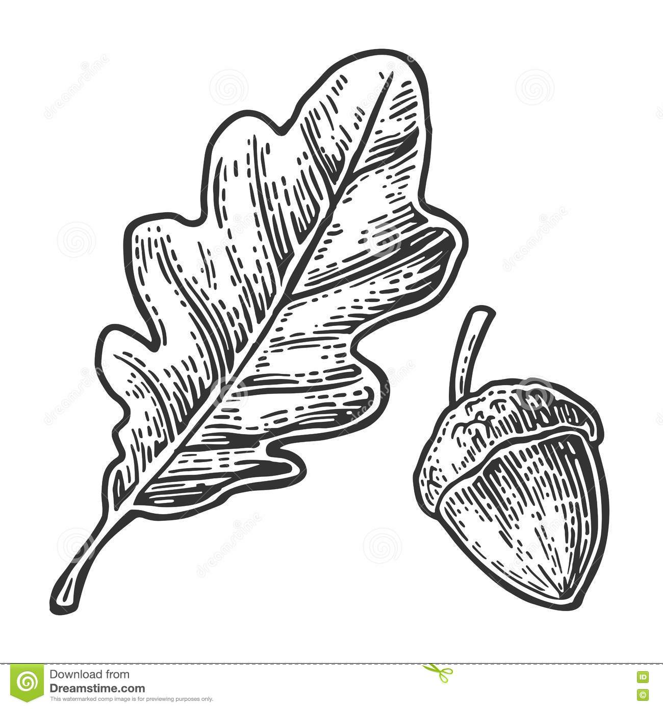 Oak Leaf And Acorn Vector Vintage Engraved Illustration