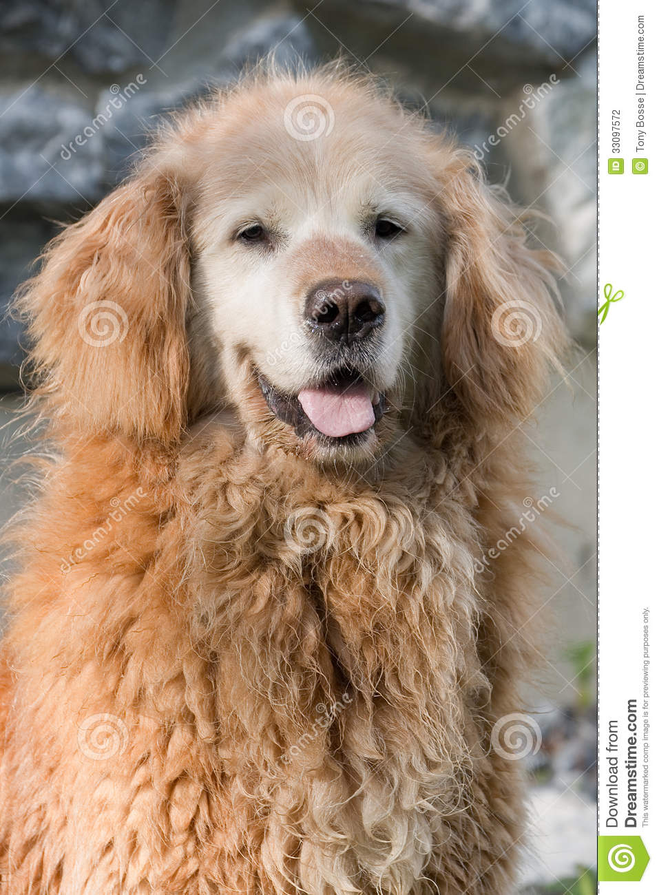 Old Curly Golden Retriever Stock Photo  Image of