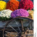 Old Farm Wagon Wheel And Mums Stock Image Image Of Bloom Colorful 79364627