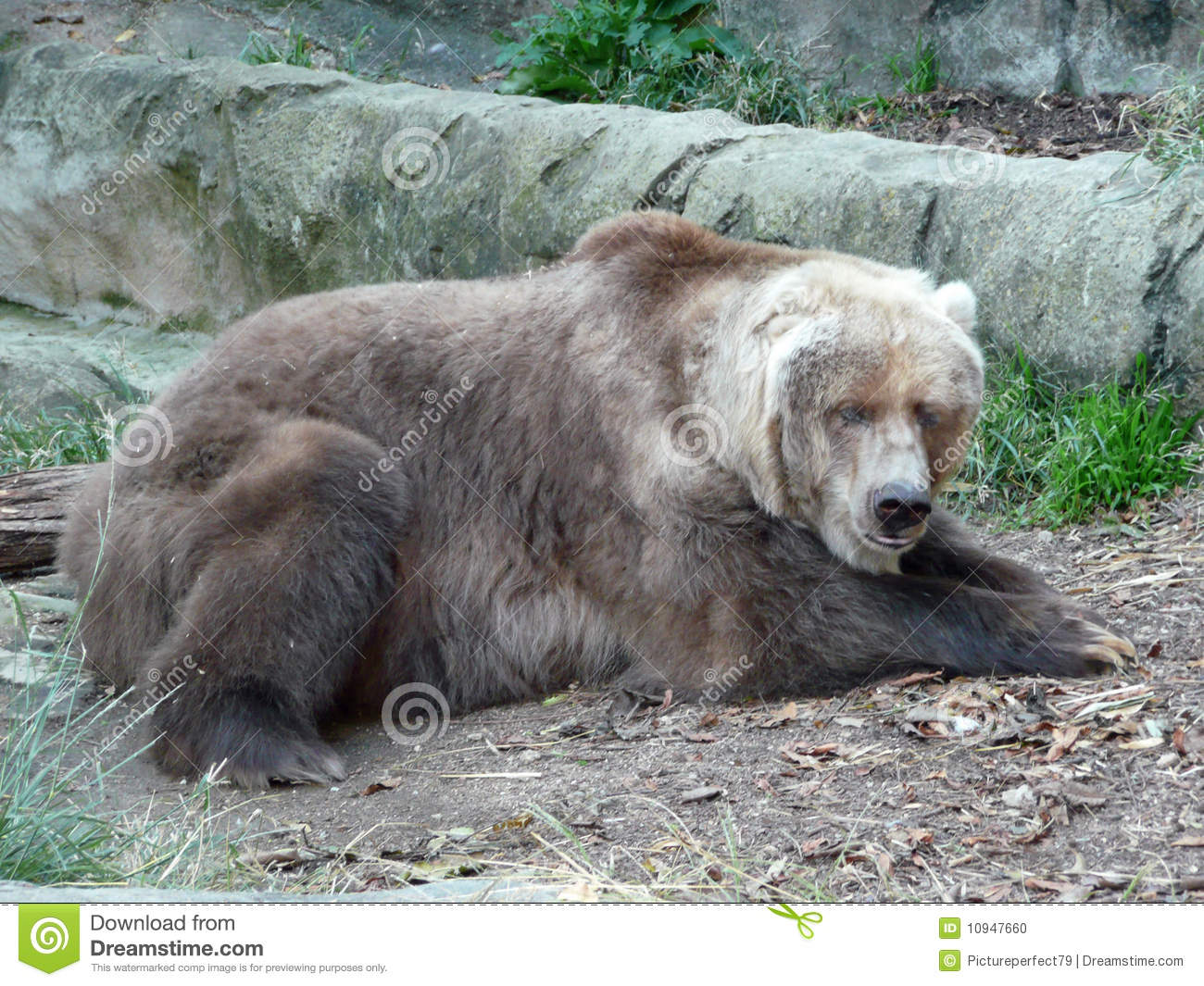 old grizzly bear stock