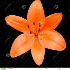 Diagram Of Perfect Flower Lily 2004 Nissan Sentra Radio Wiring Open Orange Isolated On Black Background Stock