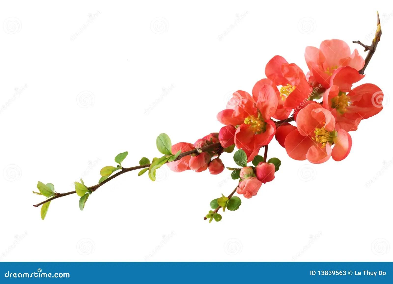 orange cherry blossom stock
