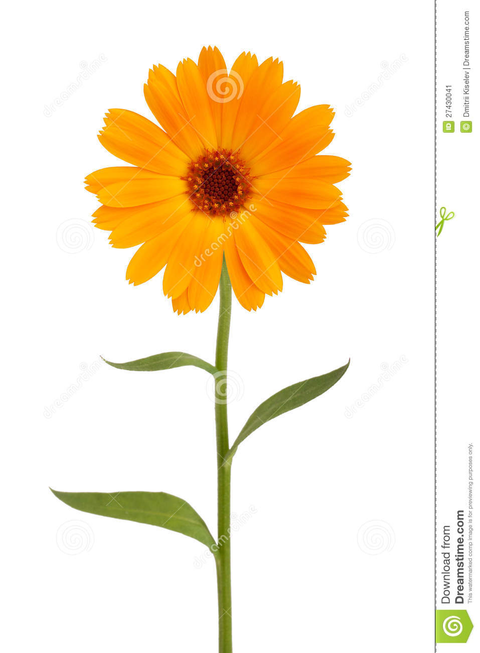 Orange Daisy With Long Stem Stock Image  Image 27430041