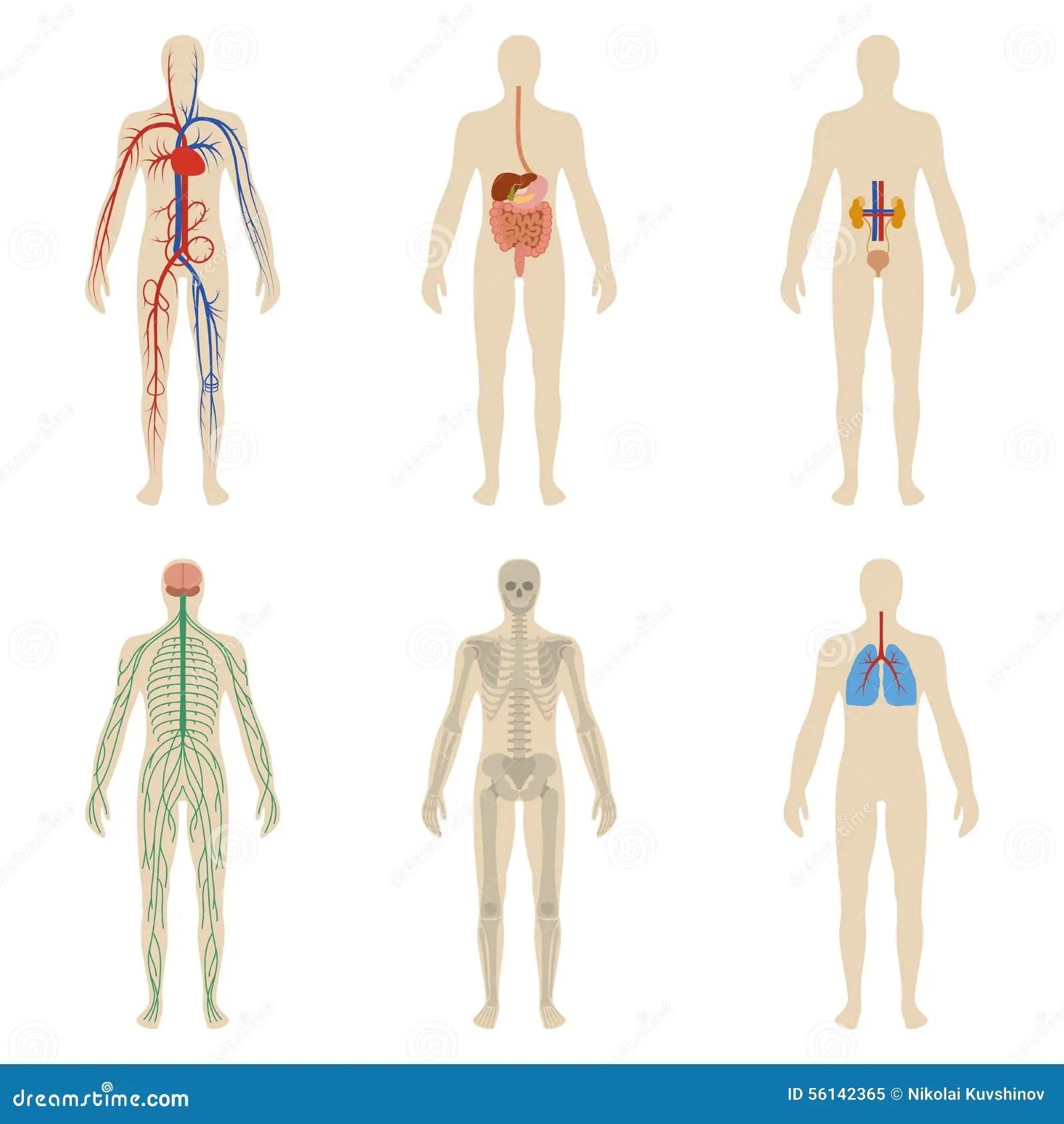 Organes Humains Et Systemes Regles De La Vitalite De Corps