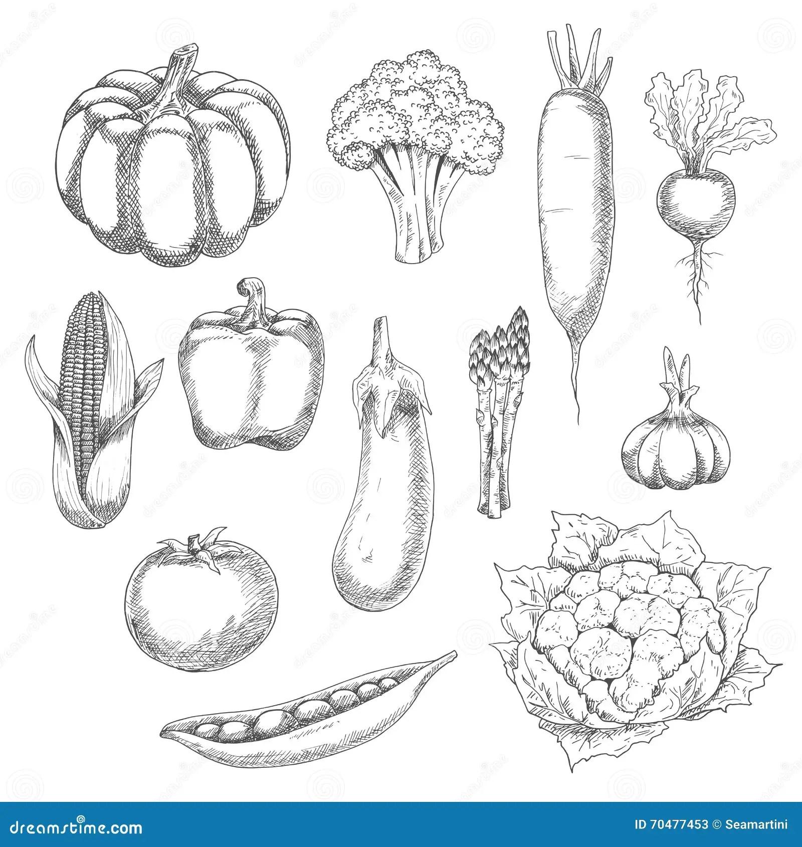 Organic Vegetables Sketch For Agriculture Design Stock
