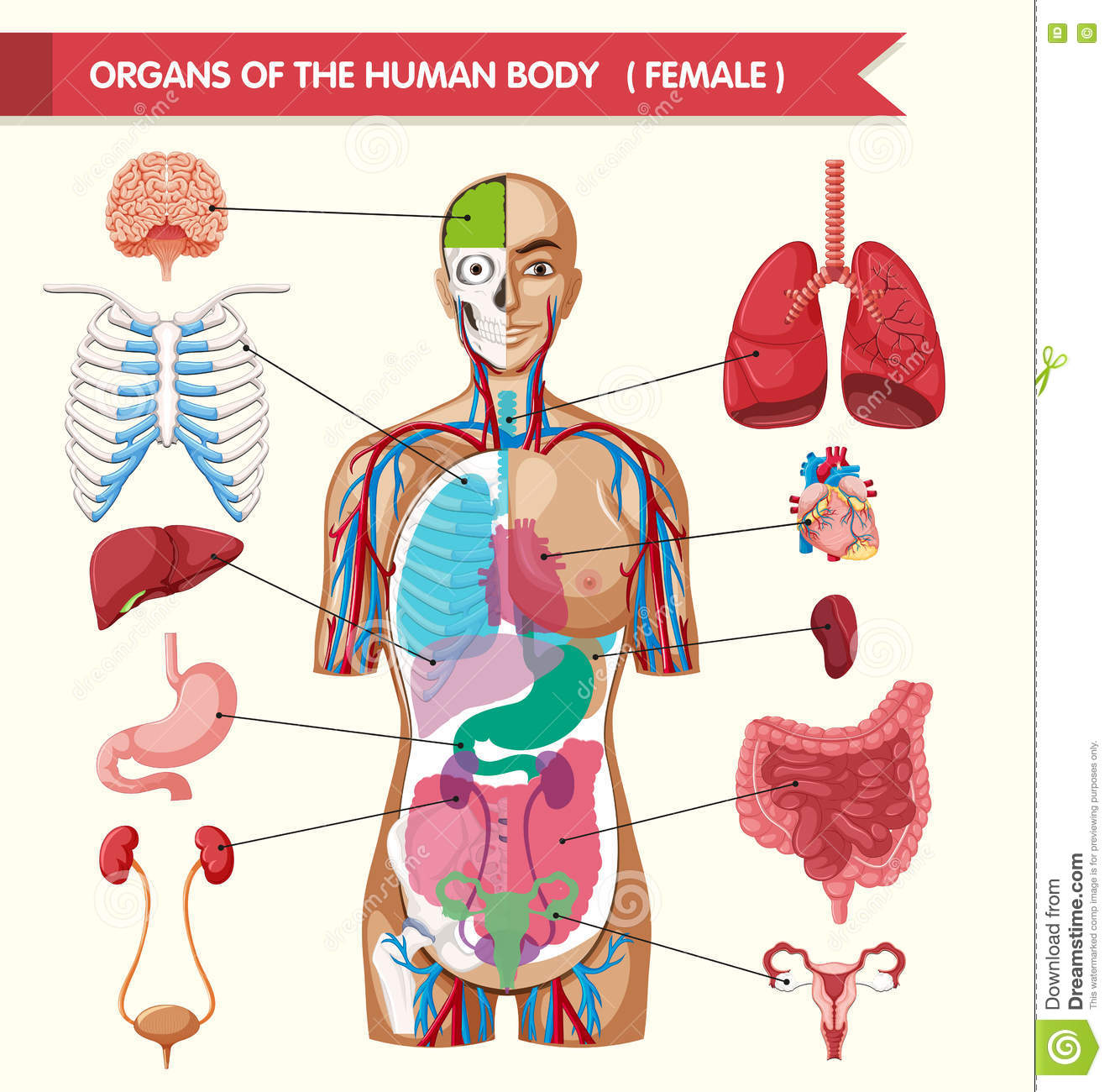 Organs Of The Human Body Diagram Stock Vector