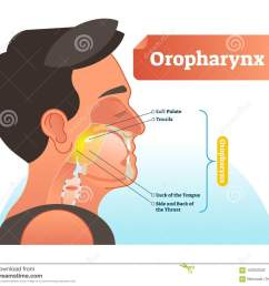 oropharynx vector illustration anatomical labeled scheme with human soft palete tonsils back of tongue and side of throat  [ 1300 x 1136 Pixel ]