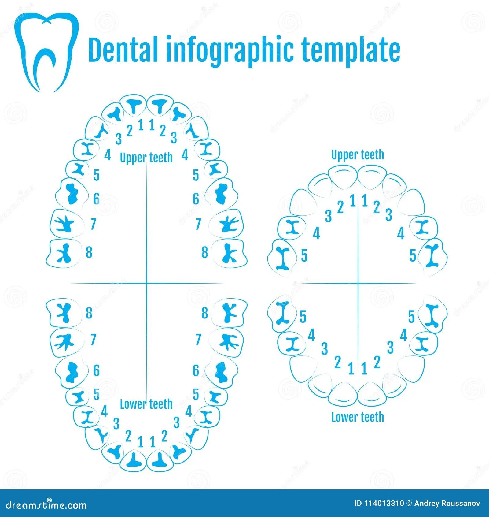 Adult Dental Chart Vector Illustration