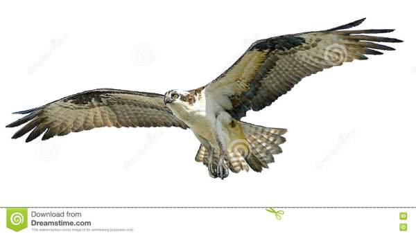 Osprey Cartoons Illustrations Vector Stock Images 26