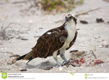 Osprey Eating Lunch Beach Royalty Free Stock