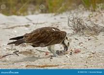 Osprey Eating Lunch Beach Stock - 30027261
