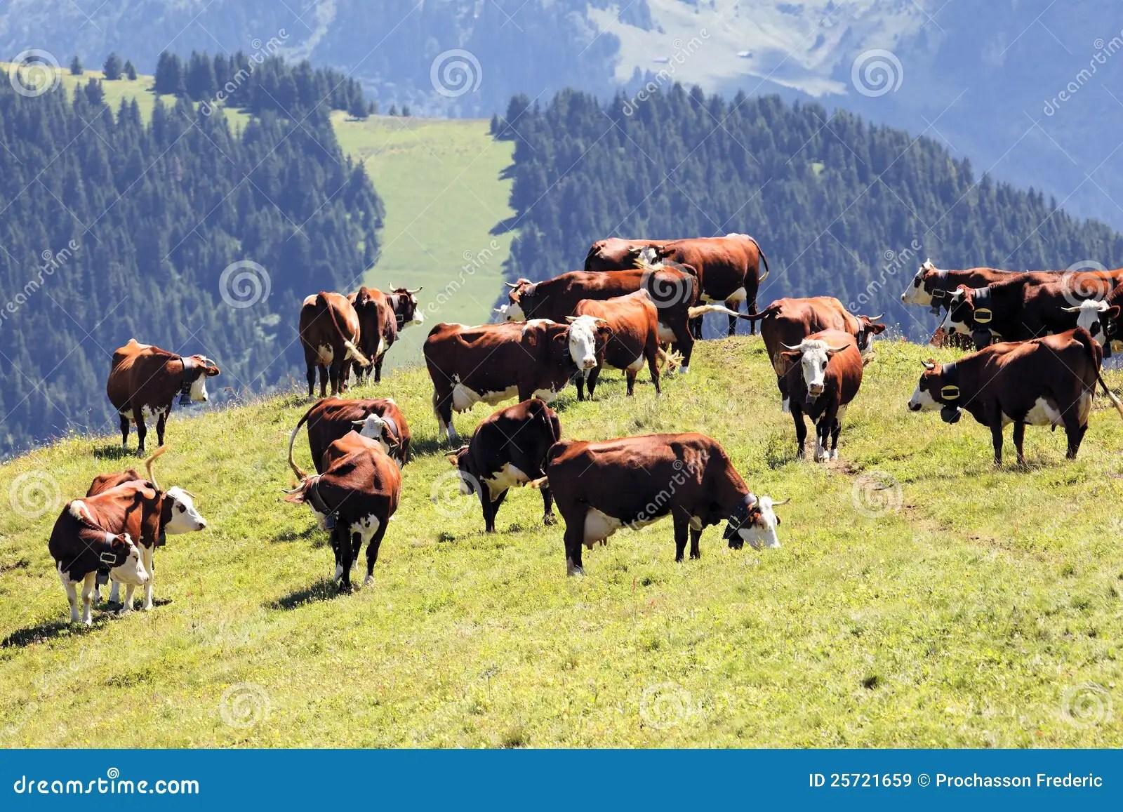 Paesaggio Alpino Con Le Mucche Immagine Stock  Immagine 25721659