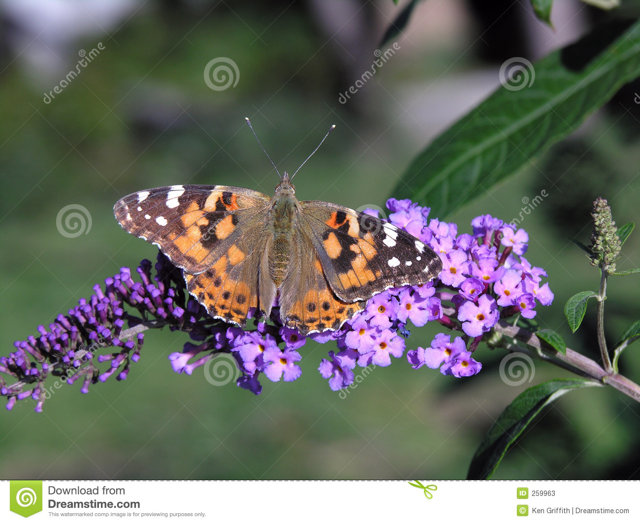 Painted Lady Butterfly Stock Image Image Of Plant Nature