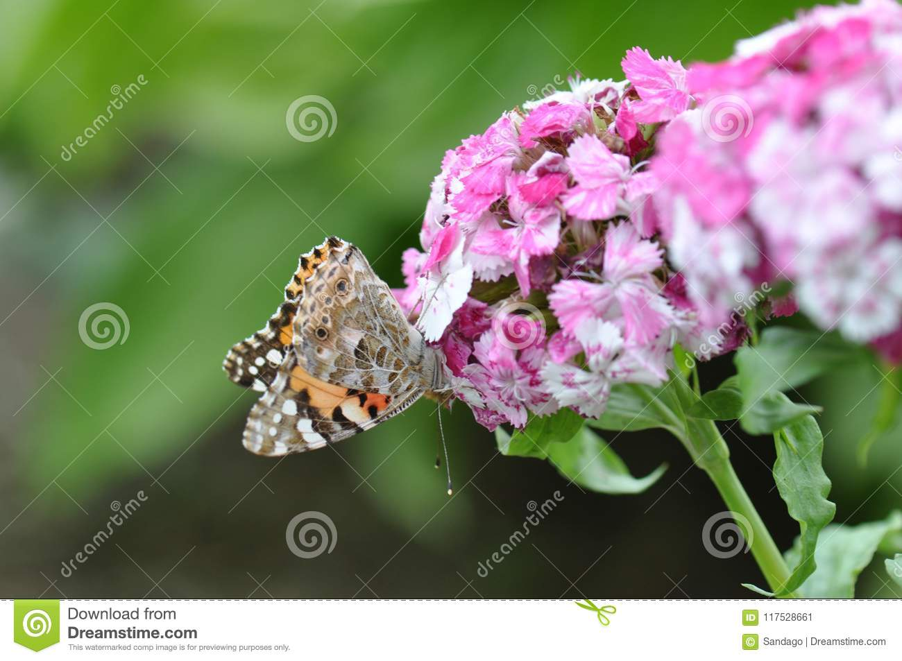 Painted Lady Butterfly Stock Image Image Of Drops