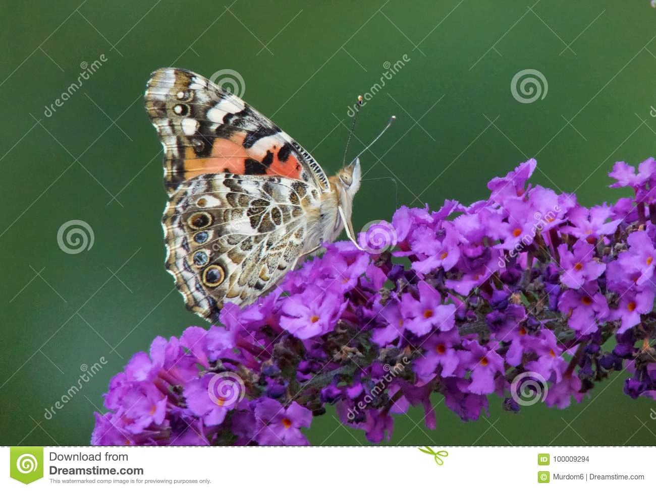 Painted Lady Butterfly Stock Photo Image Of Bokeh Lady