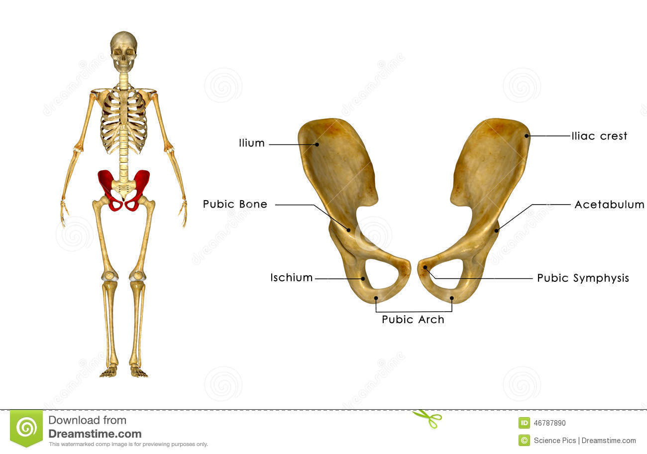coxal bone diagram cat6 patch cable wiring palvic hip girdle stock illustration of