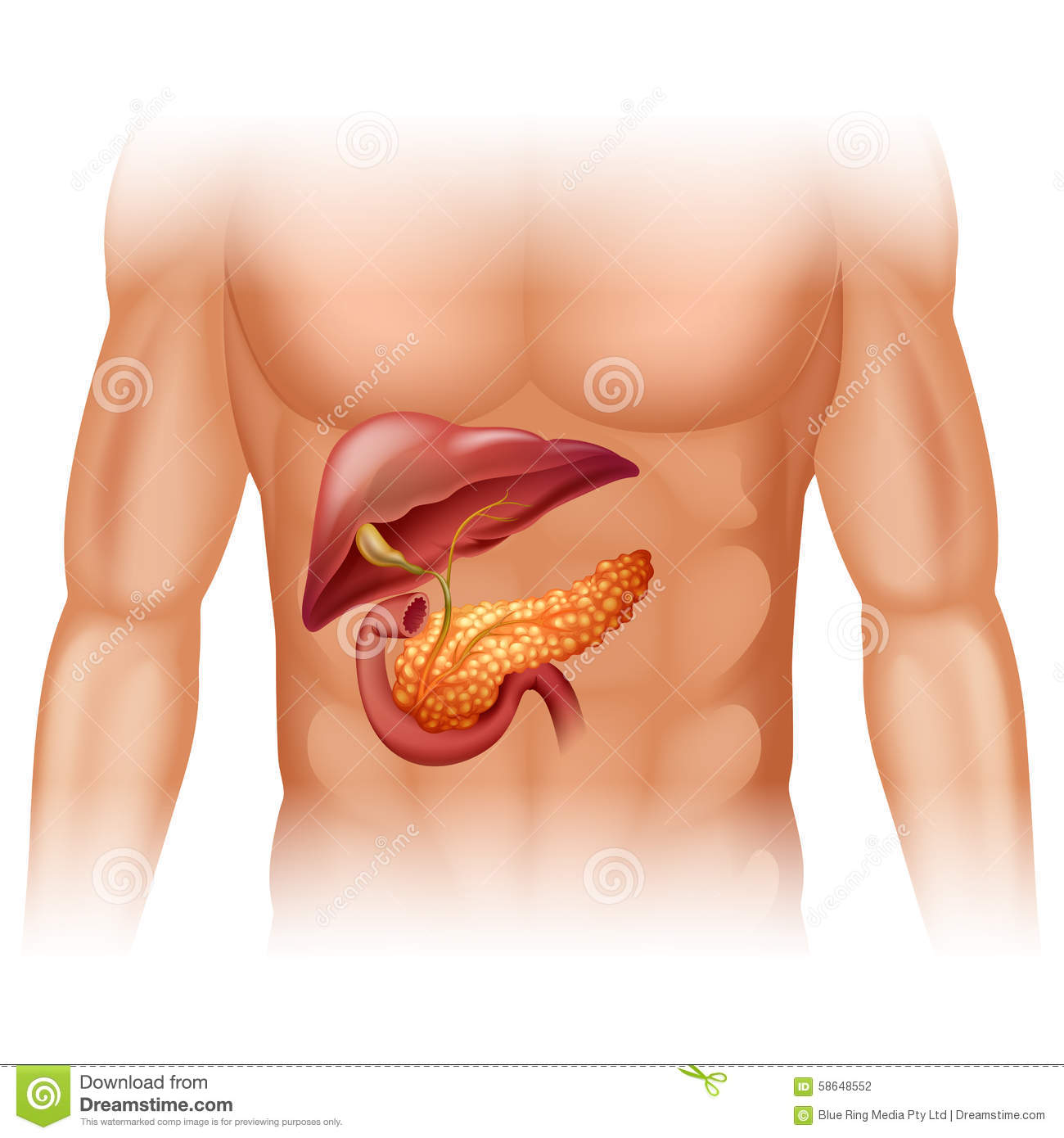 hight resolution of pancreas cancer diagram in detail stock vector illustration of rh dreamstime com lung diagram pancreas in body diagram