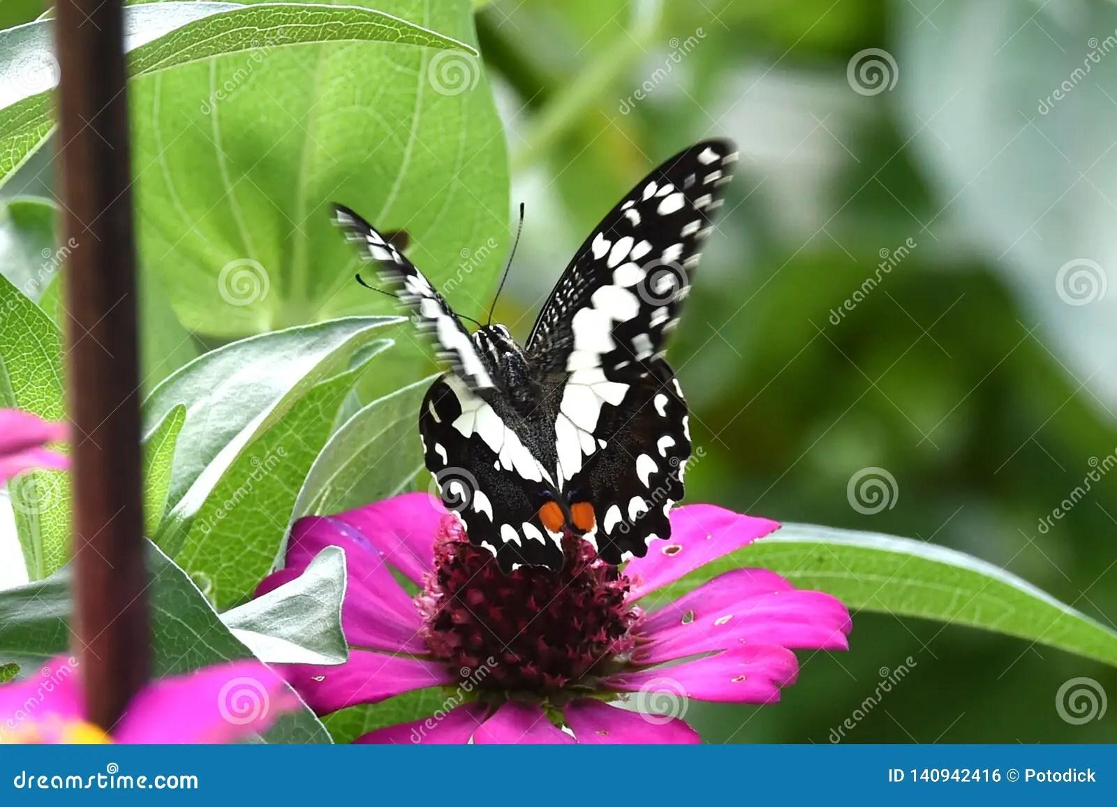papillon noir et blanc ete perche sur