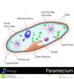 easy to edit vector illustration of diagram of paramecium [ 1300 x 1390 Pixel ]