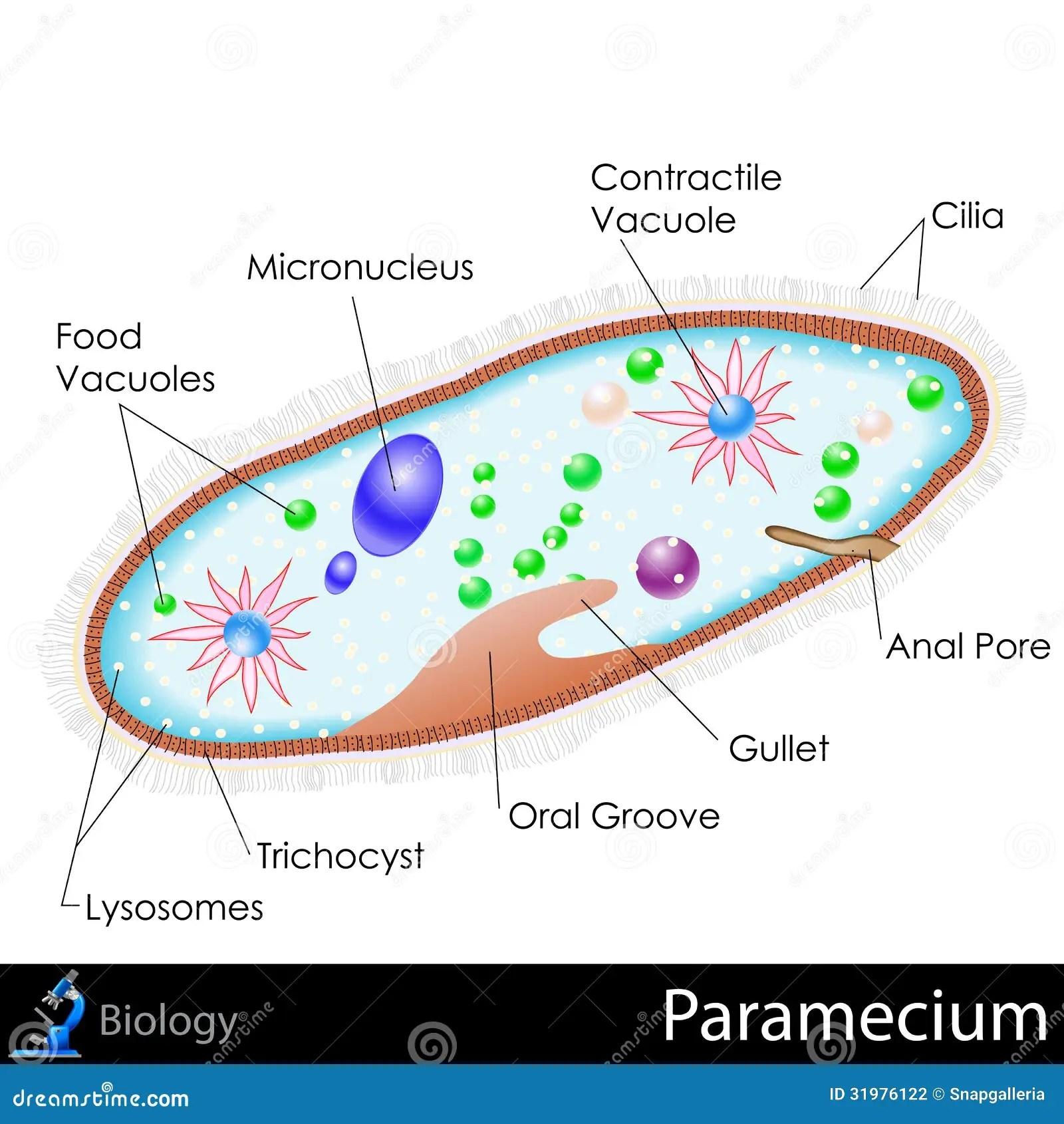 amoeba cell diagram 120 240 motor wiring paramecium stock vector illustration of