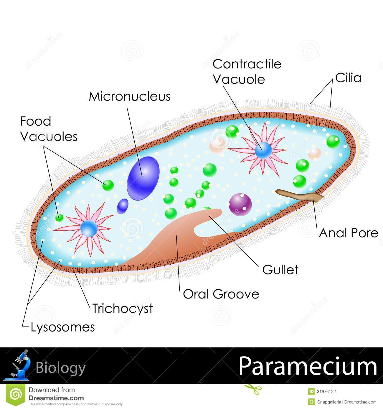 hight resolution of easy to edit vector illustration of diagram of paramecium