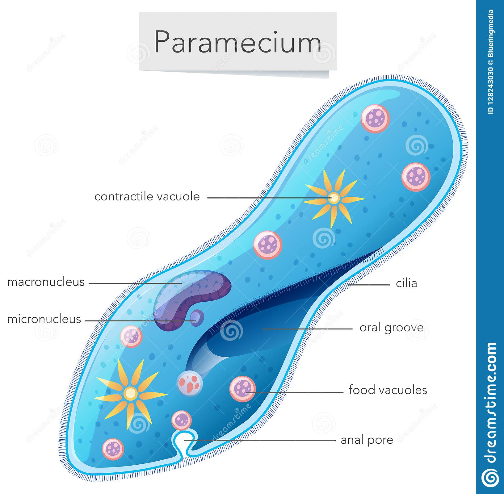 hight resolution of a paramecium diagram on white background
