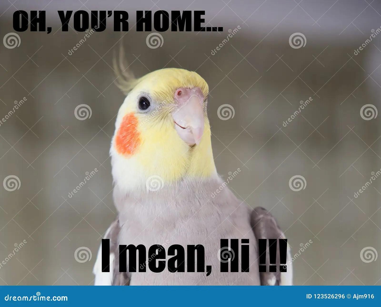 parrot funny quote cockatiel