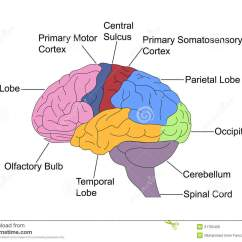 Frontal Brain Diagram No Labels External Regulator Alternator Wiring Parts Of Stock Vector Image Labelled Colored